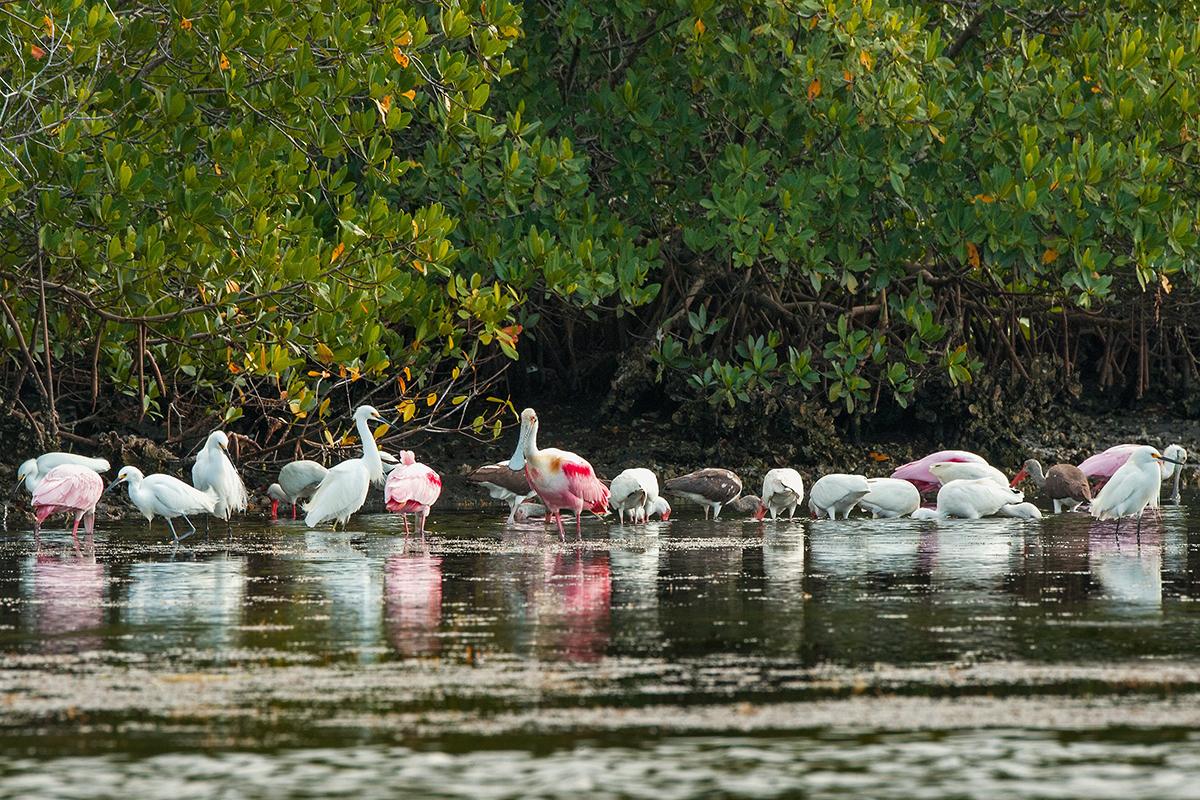 Spoonbills, Egrets, and Ibis, Matlacha