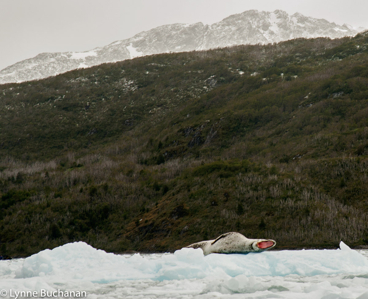 Leopard Seal Yawning