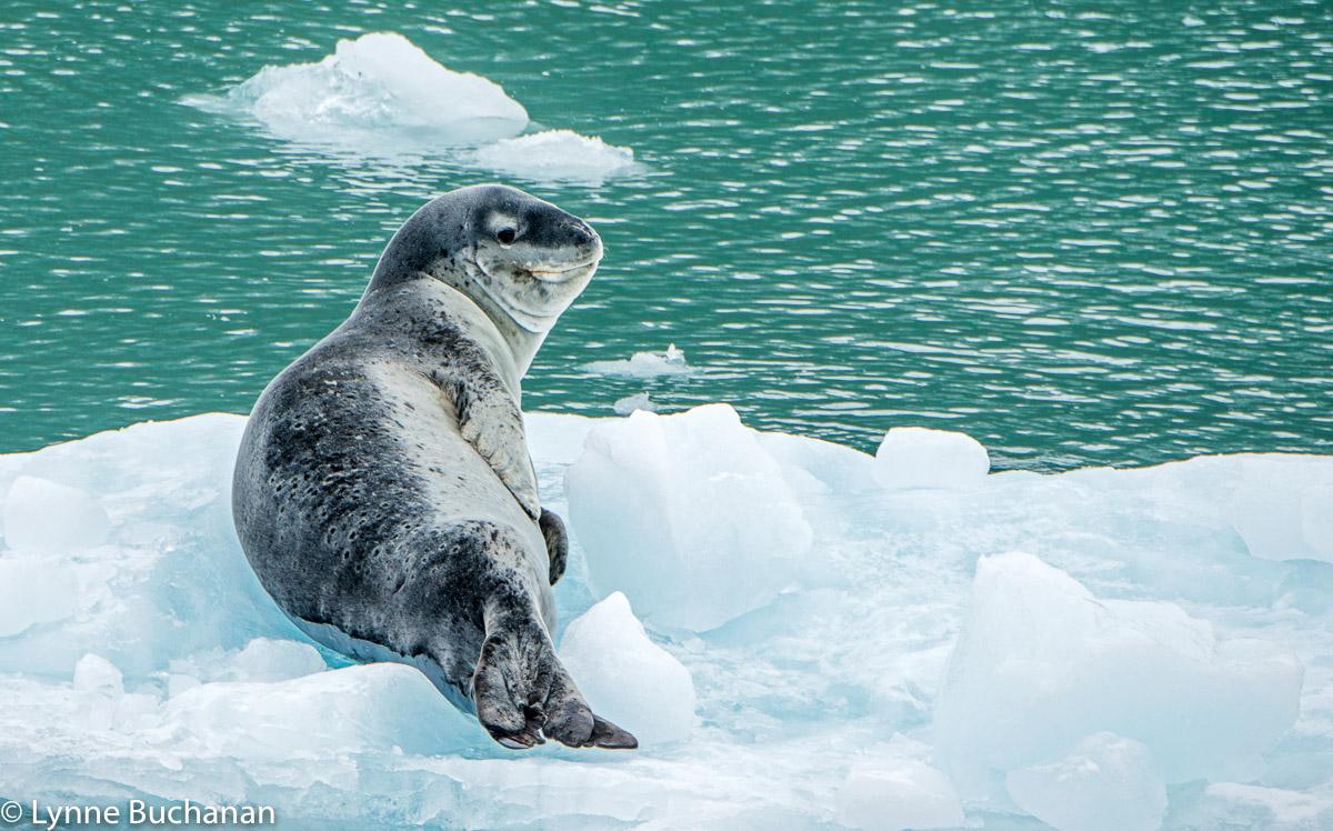 Leopard Seal Portrait