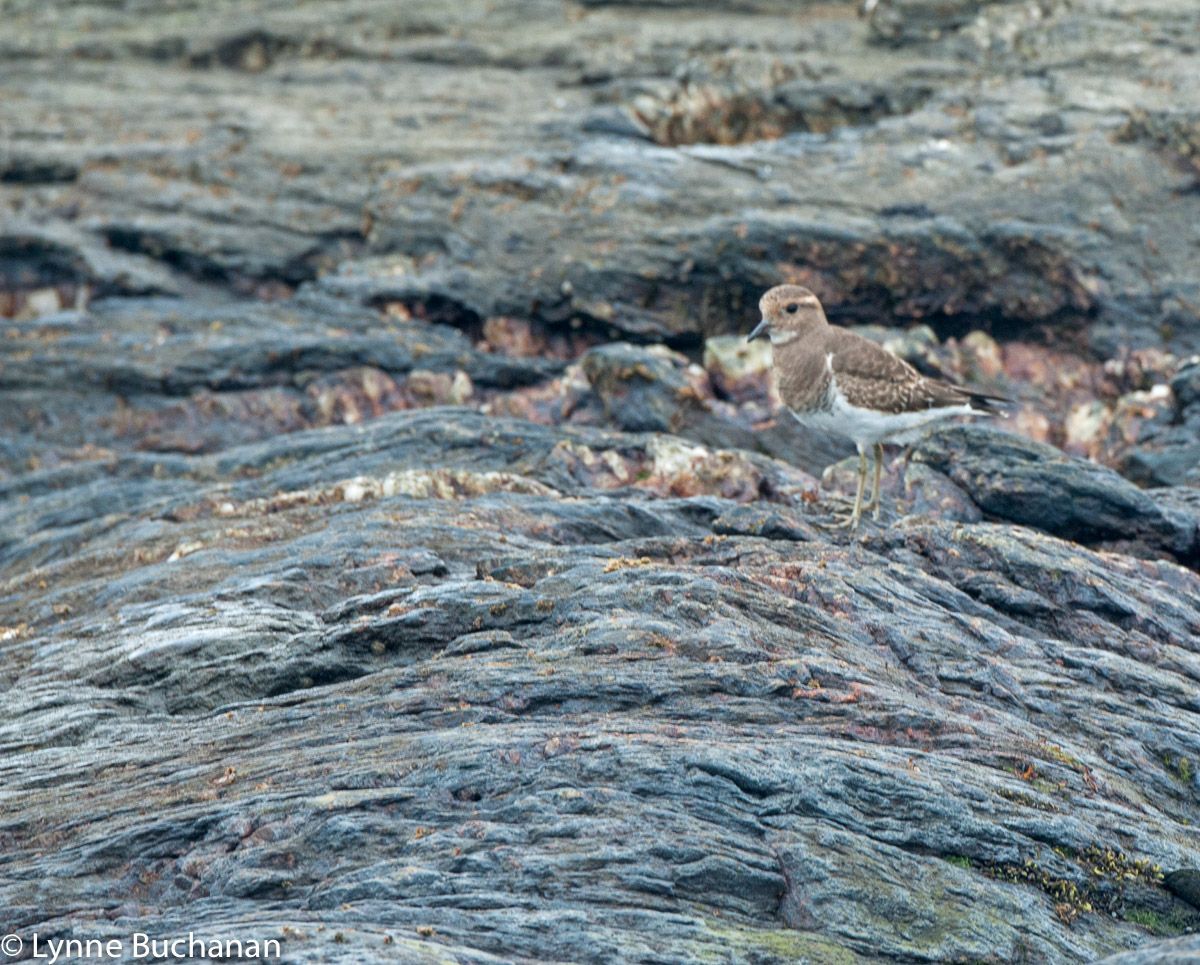 Rufus chested dotterel