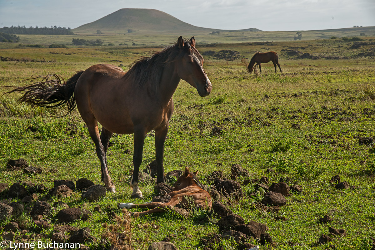 Wild Mare and Baby Horse, Easter Island