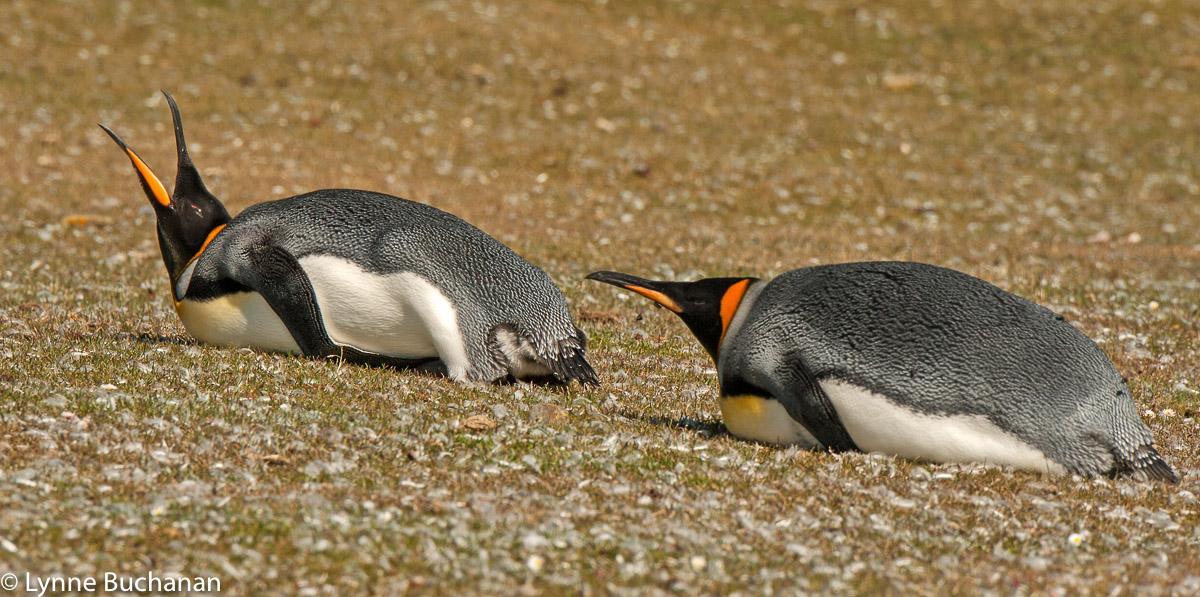 Prone King Penguins