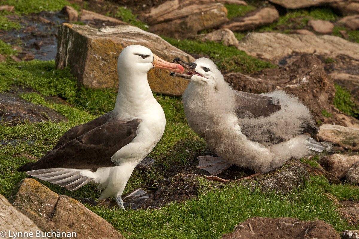 Mother Albatross Feeding her Young