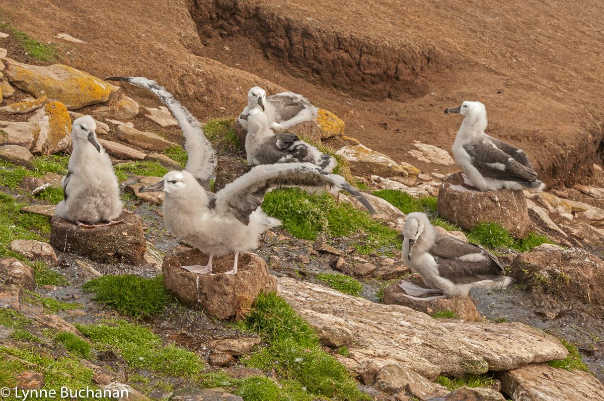 Albatross, Saunders Island