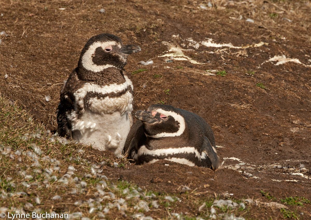 Magellanic Penguin Pair