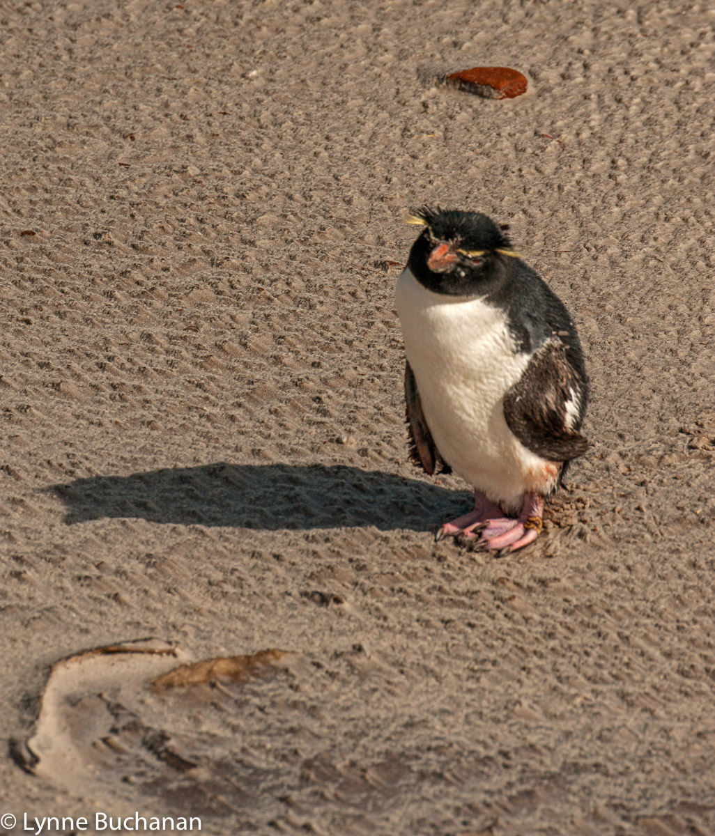 Rockhopper Penguin that Approached Me to Give Me a Message