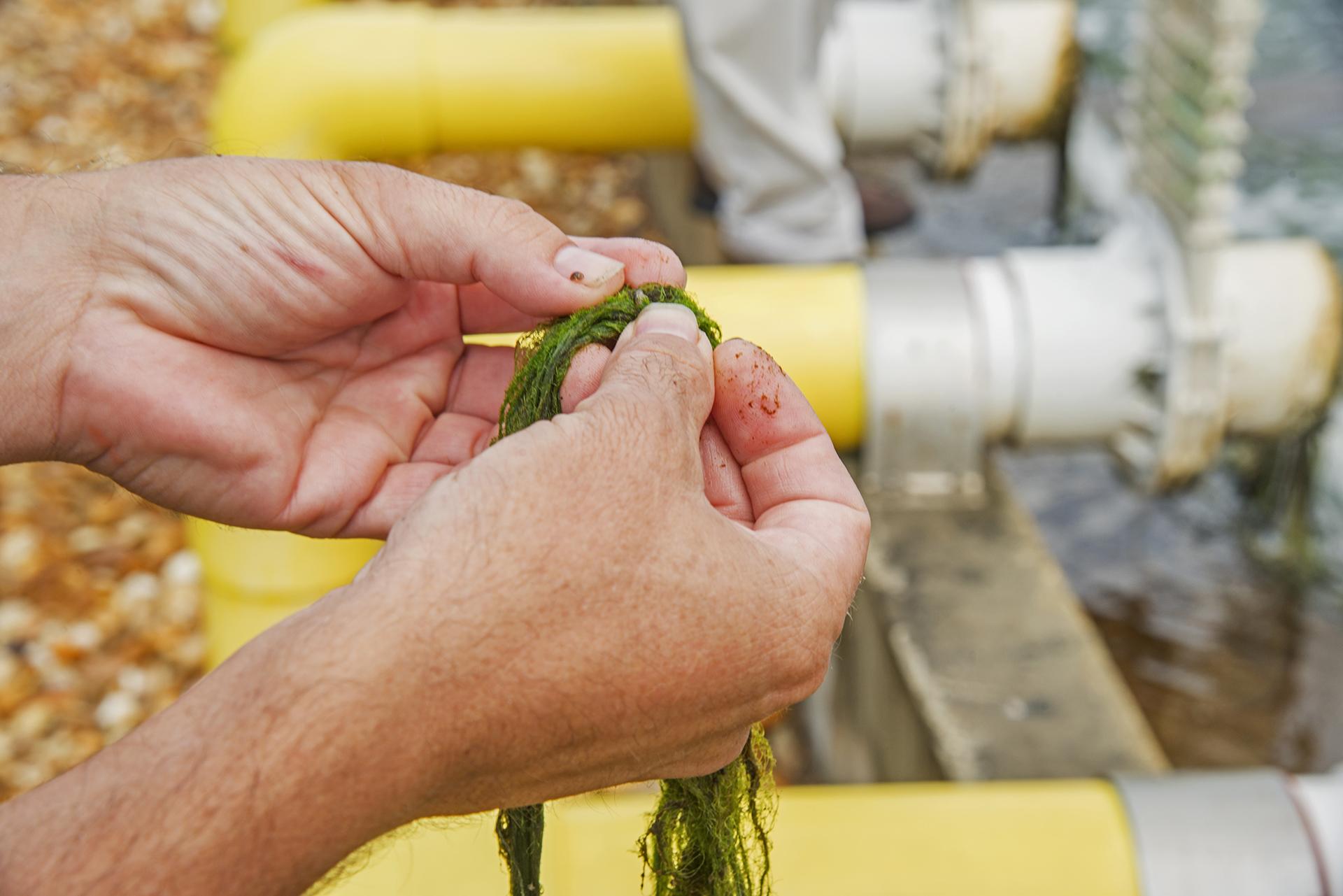 Tiny Crustaceans in the Algae