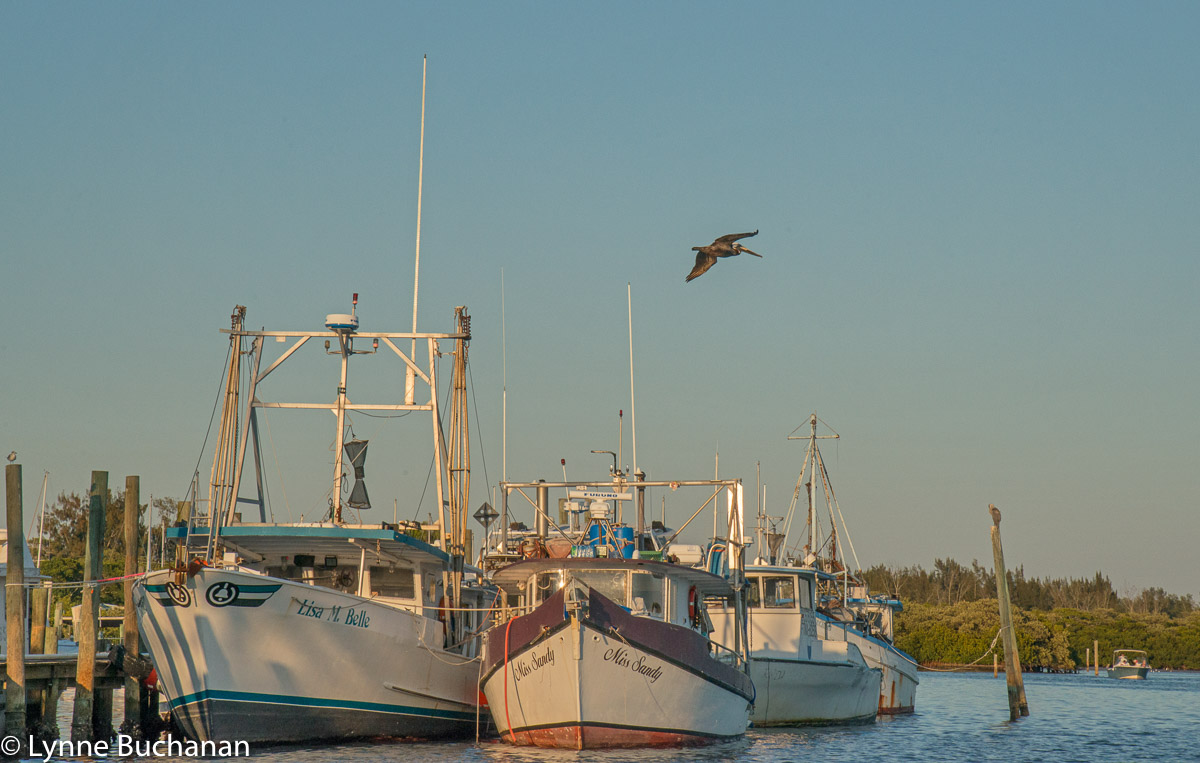 Pelican Soaring over the Cortez Fishing Boats