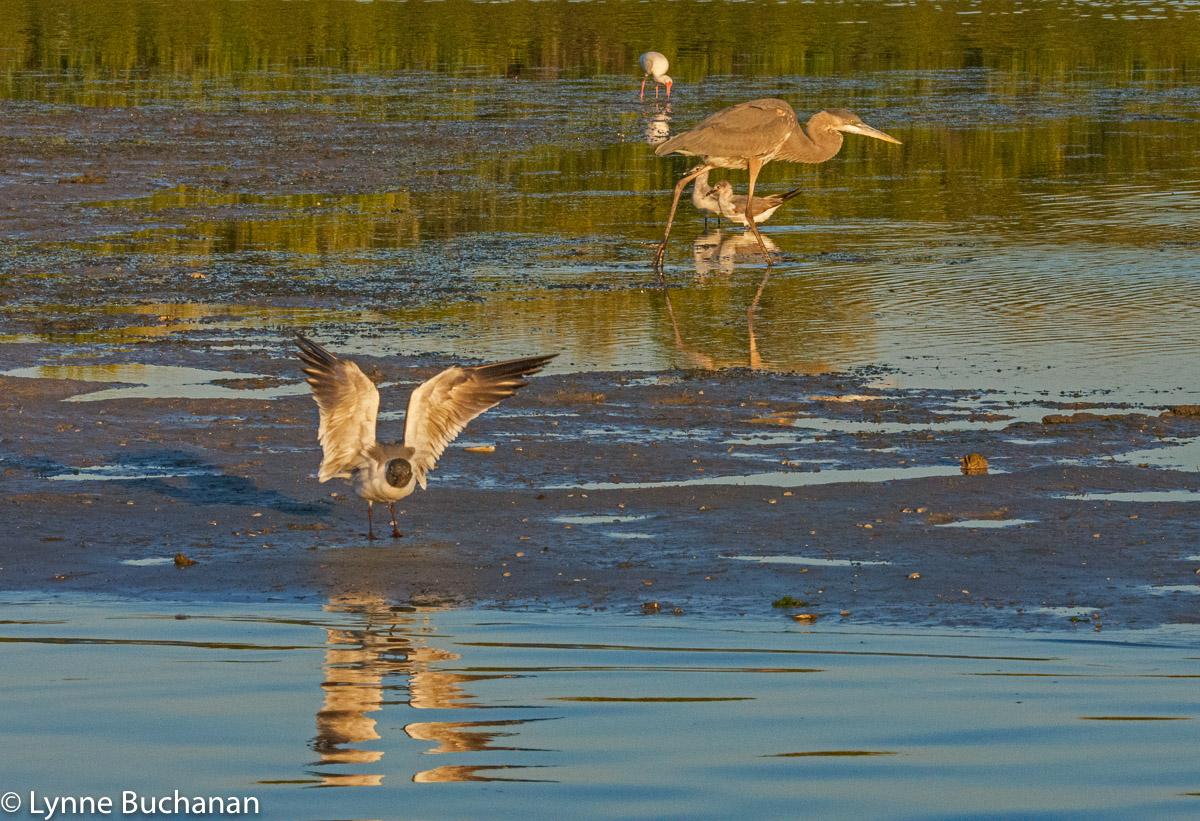 Osprey Landing Amid the Shorebirds