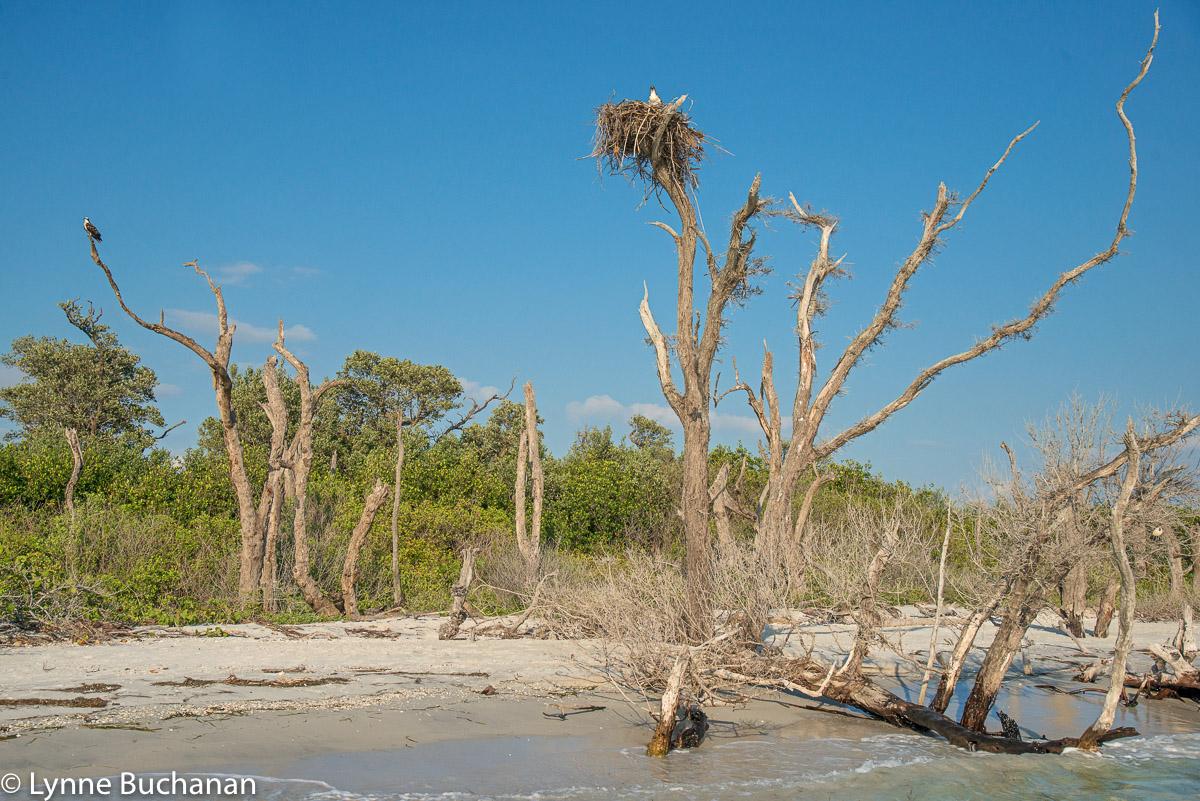 Osprey Nest and Ospreys, Caya Costa