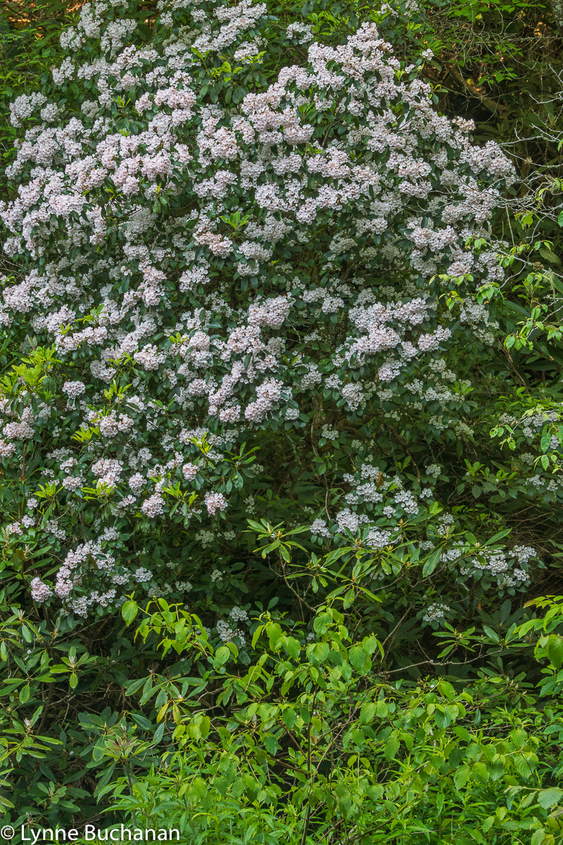Mountain Laurel along the Tuckasegee River