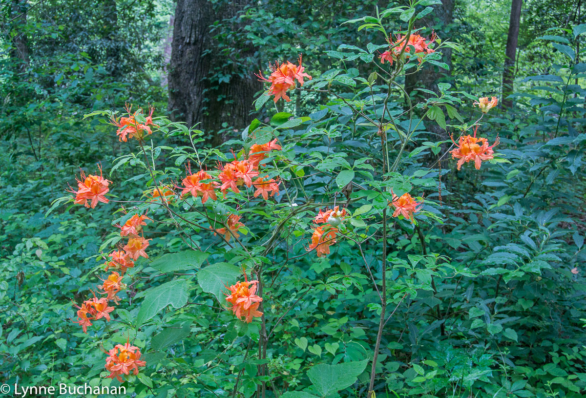 Wild Azaleas Along the Tuckasegee River