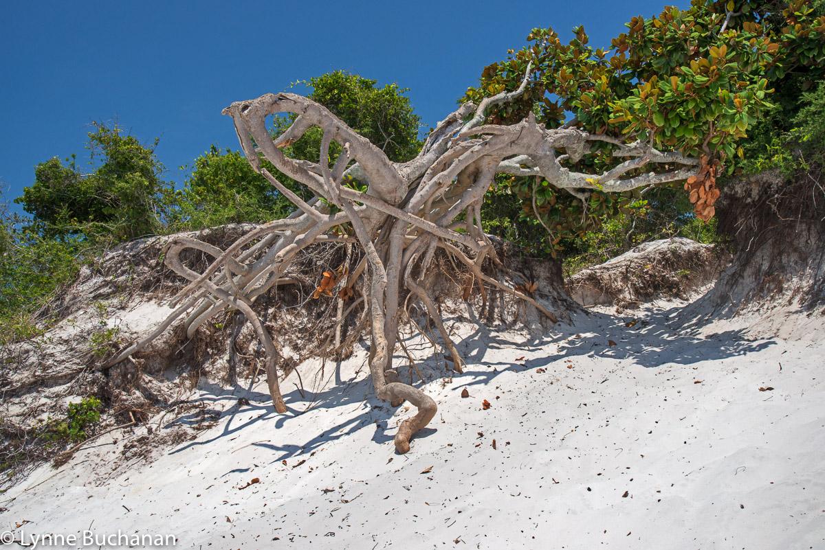 Octopus Driftwood, Pensacola Beach