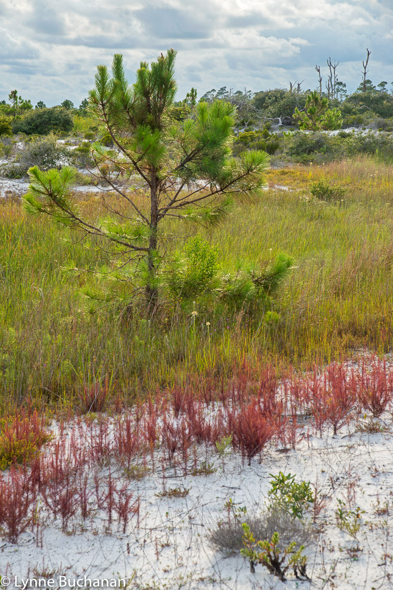Young Pine and Dune Vegetation