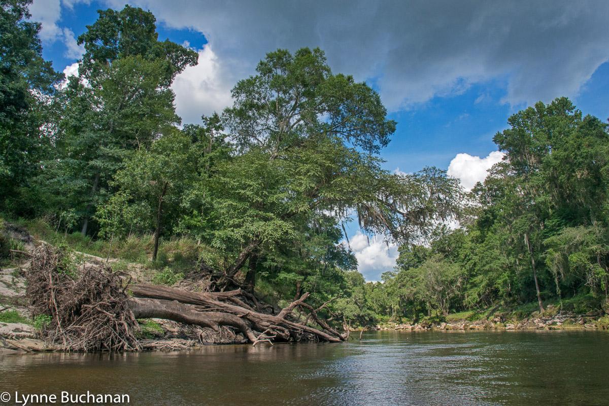 Fallen Tree, Upper Withlacoochee River