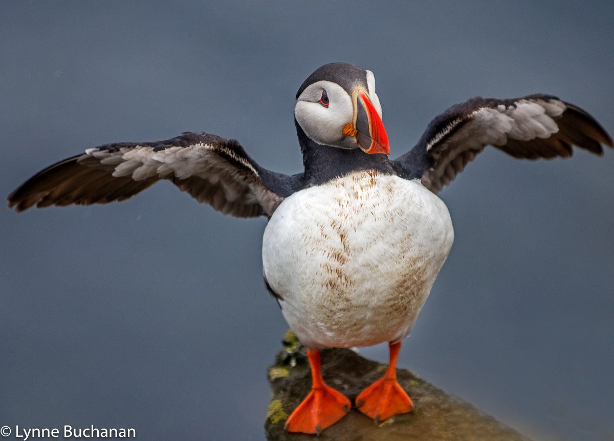 """Puffin Pose, """"I'm Here"""""""