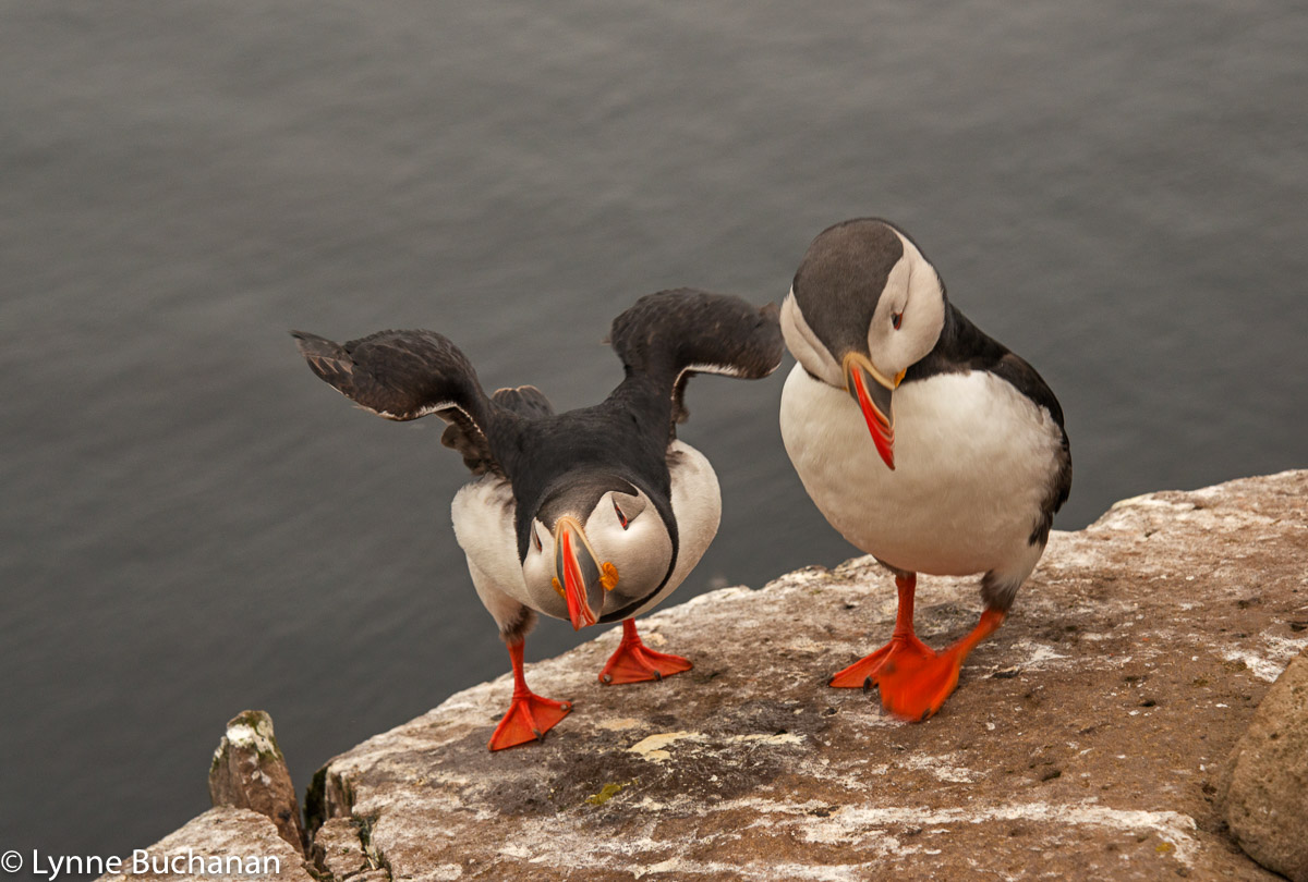 Puffin Joining Another on a Rocky Perch