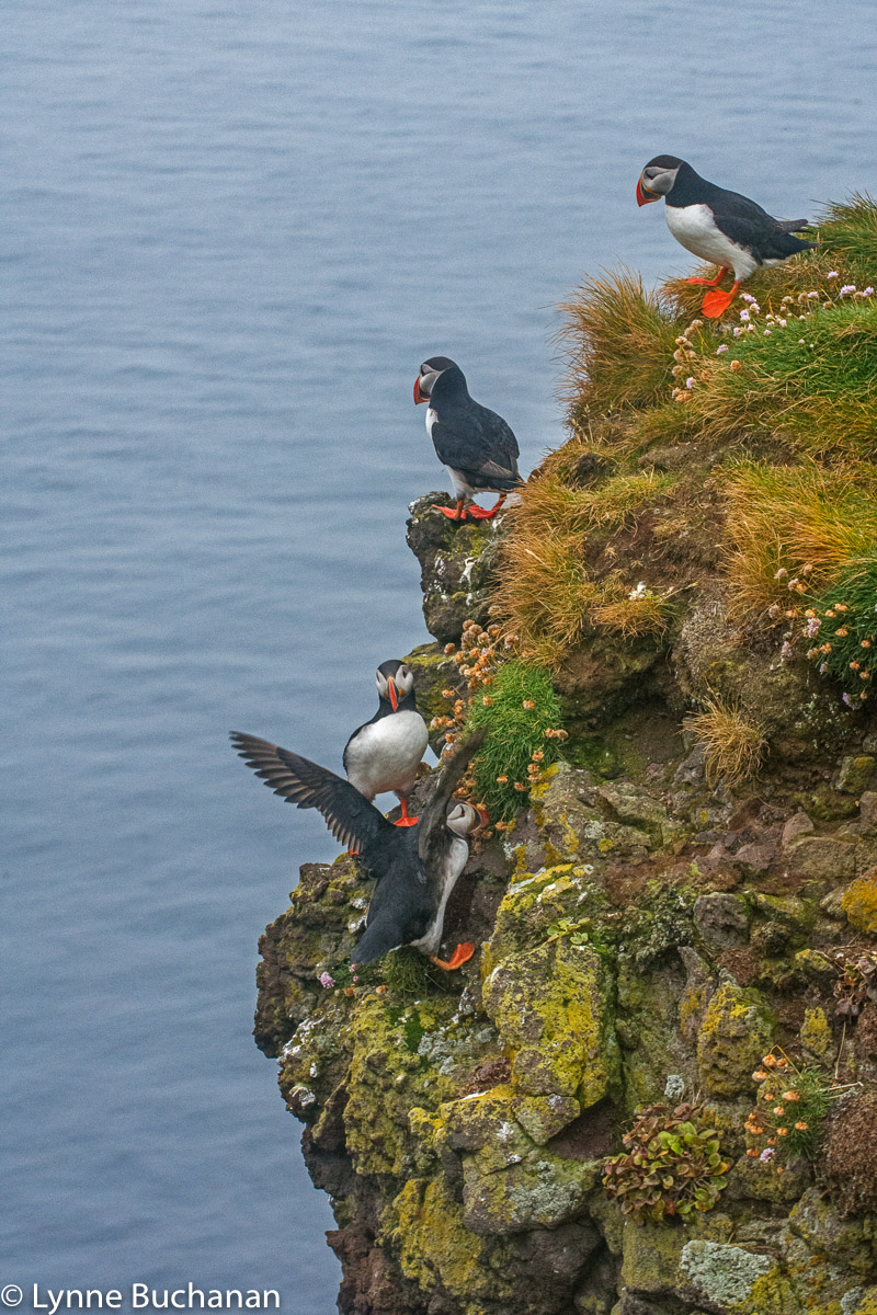 Puffins on the Side of a Cliff