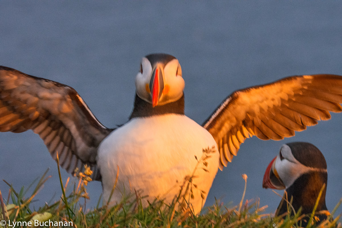 Puffin with Outstretched Wings