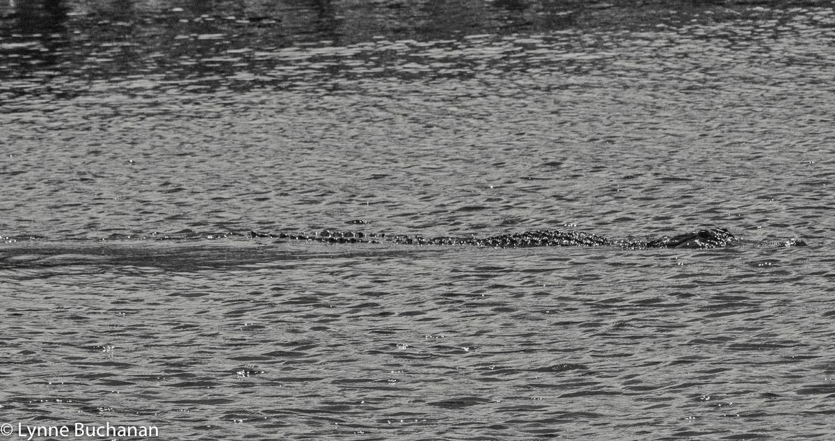 Big Alligator, Lake Okeechobee