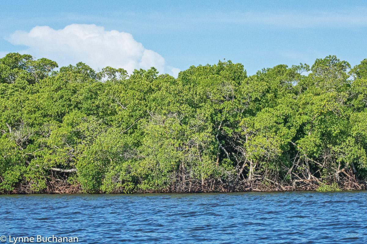 Mangrove Islands in Estero Bay Near Lovers Key