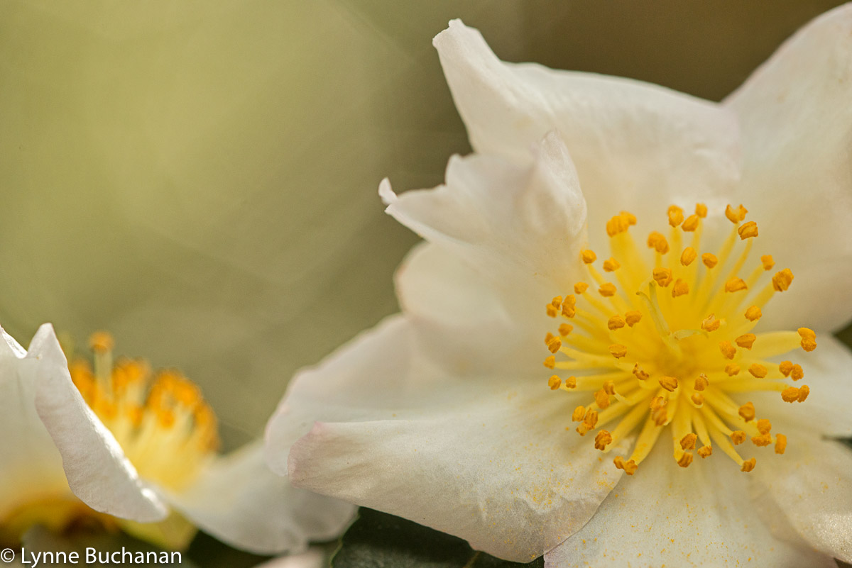 Lighting up the Hearts of White Camellias