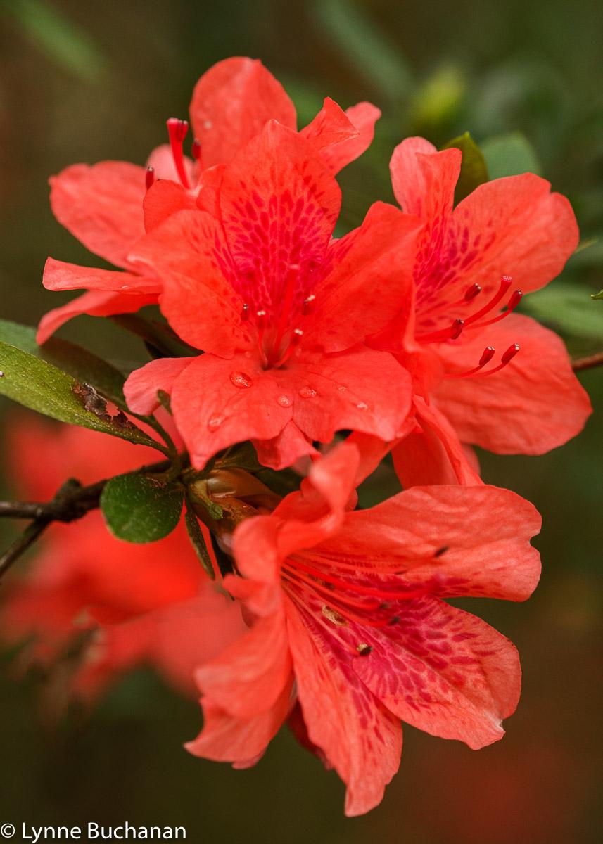 Simply Red Camellias