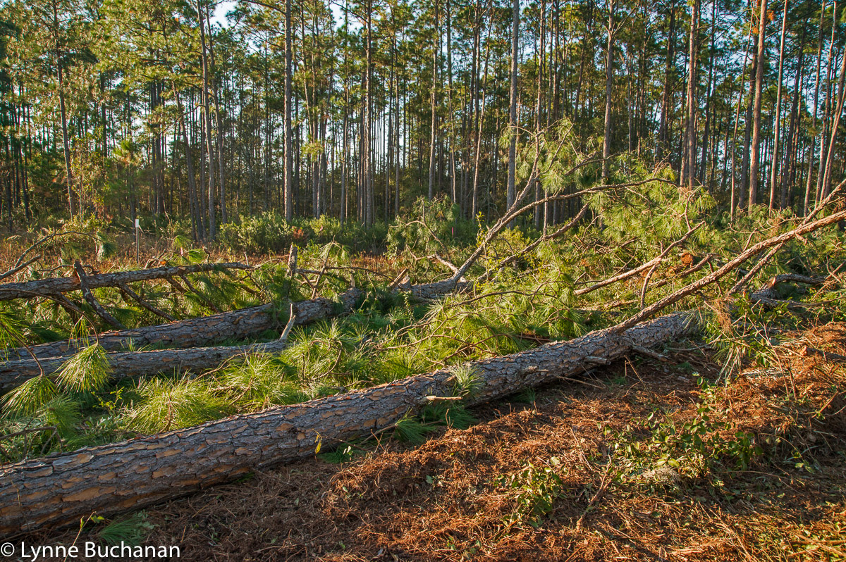 Downed Trees, Robin Koon's Property
