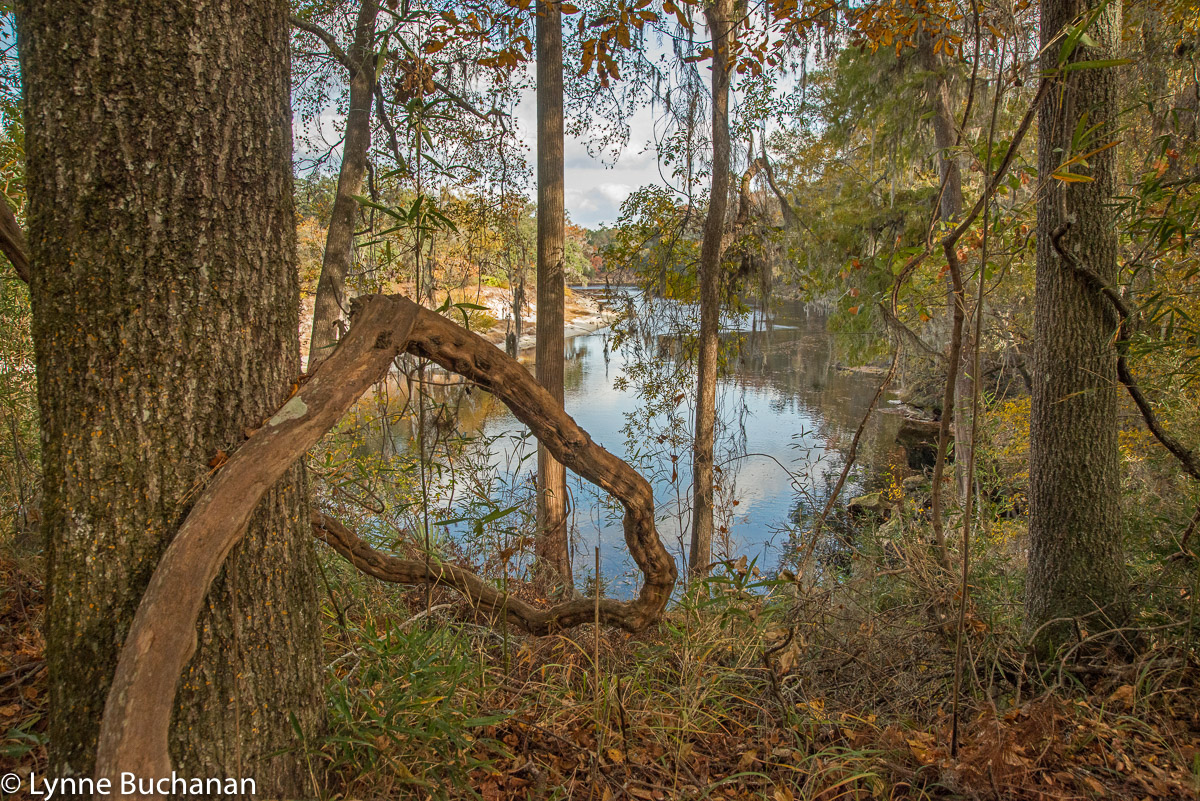 Viewing the Suwannee River Through Wild Foliage