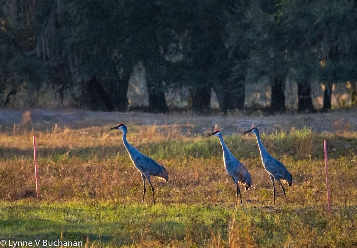 Sandhill Cranes in the Pipeline Corridor