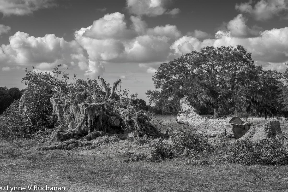 Destroyed Oak Tree Near Pruitt Trailhead