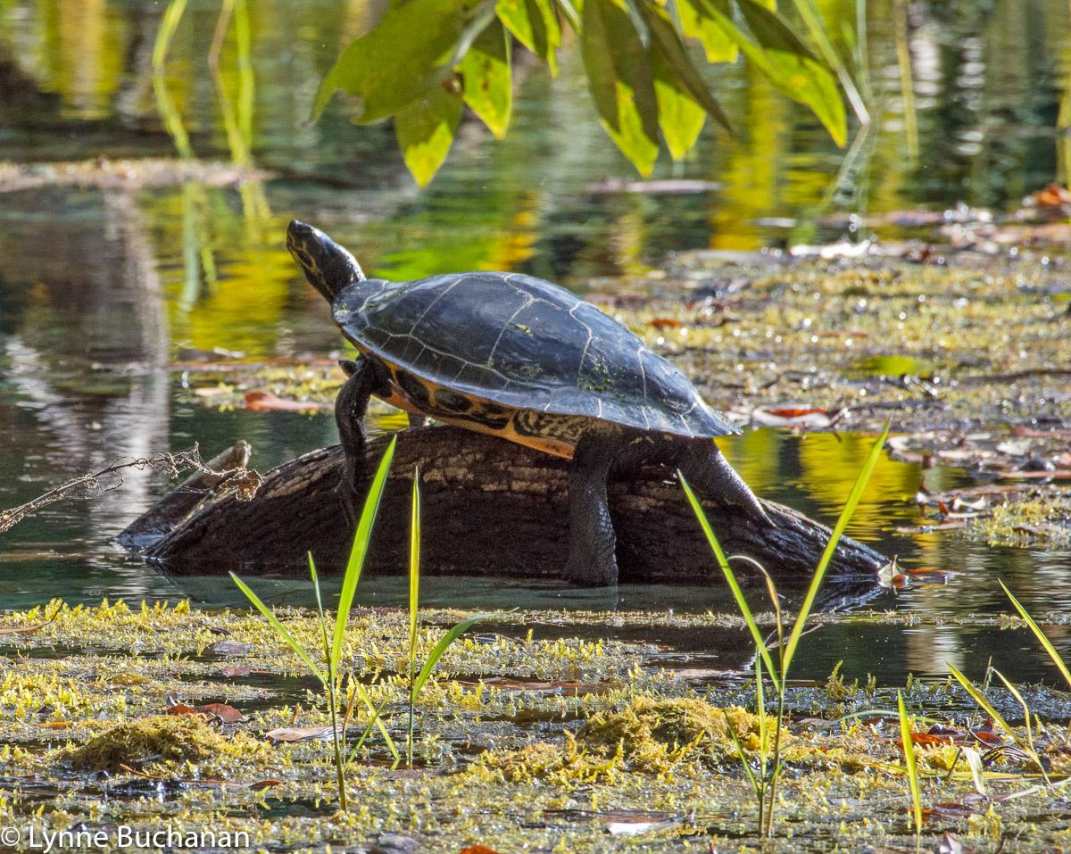 Turtle, Rainbow Springs