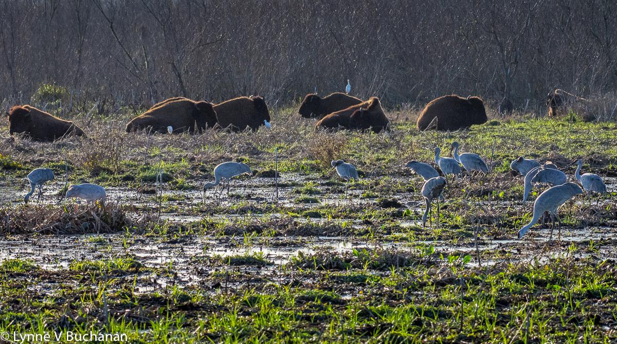 Bison and Cranes along La Chua Trail, Paynes Prairie
