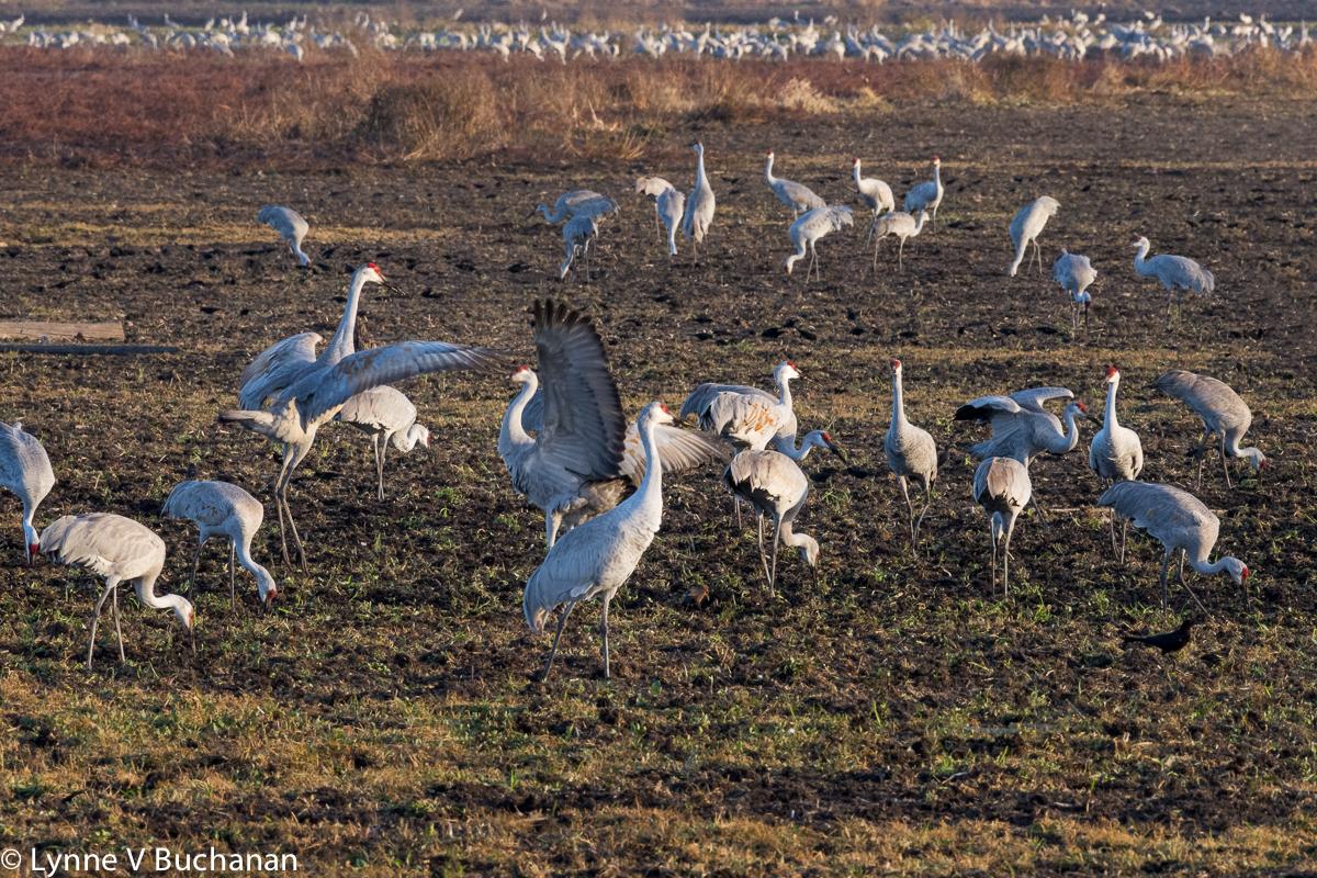 Cranes Performing a Mating Dance