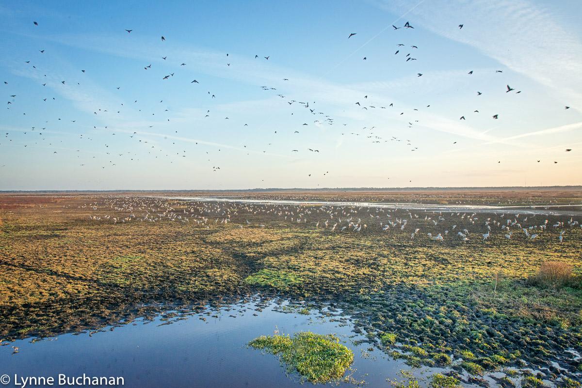 Cranes, Blackbrids, and Contrails