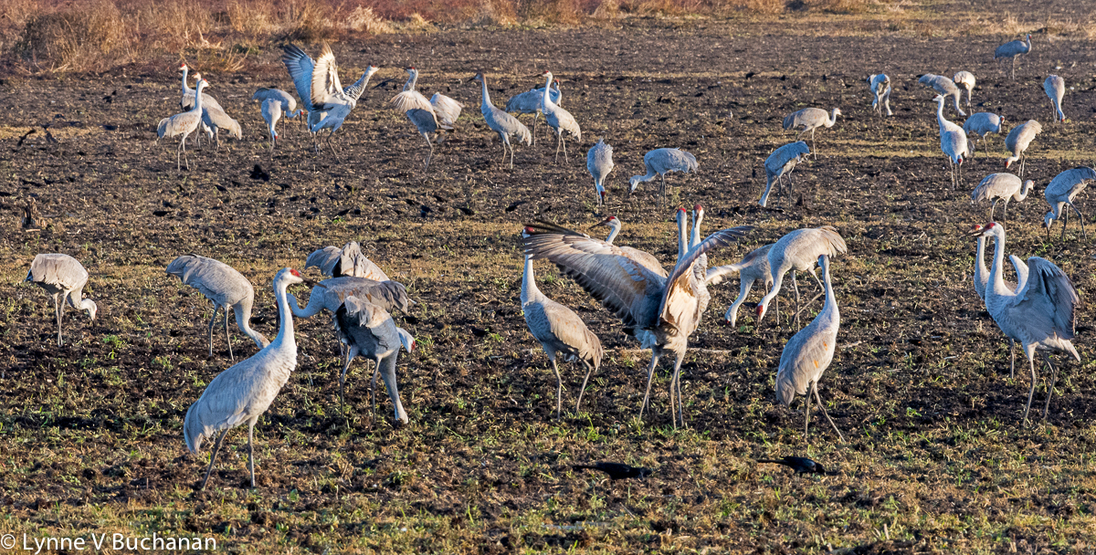 Cranes Mating Among the Red Winged Blackbirds