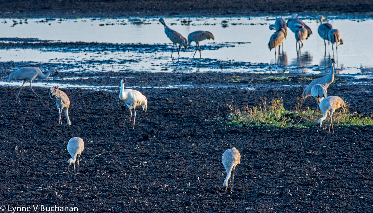 Whooping Crane in the Mix