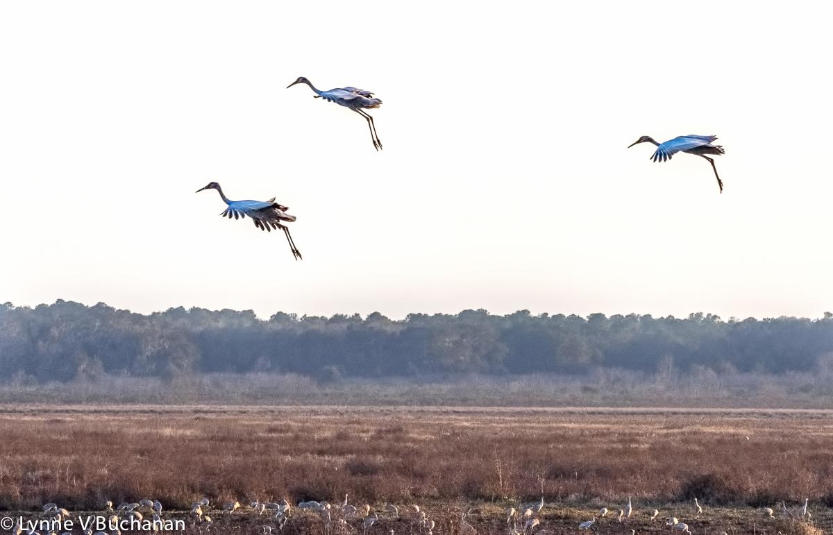 Trio of Cranes Landing