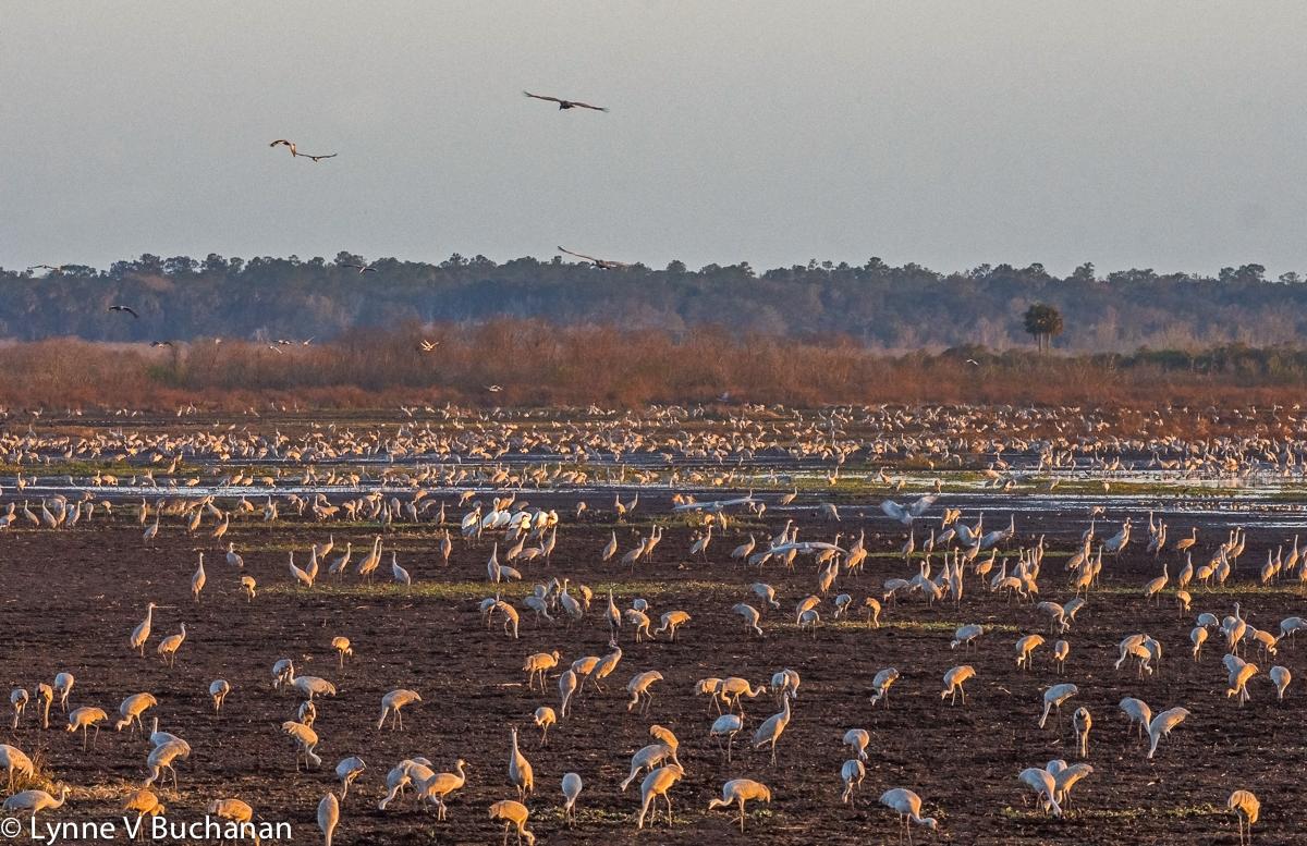 Cranes and White Pelicans, Paynes Prairie