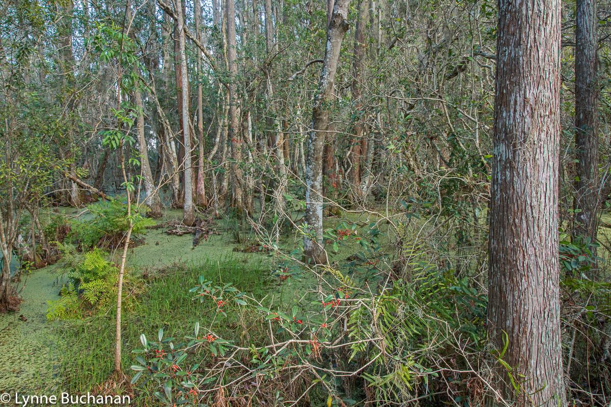 Green Swamp, Lake Lousia