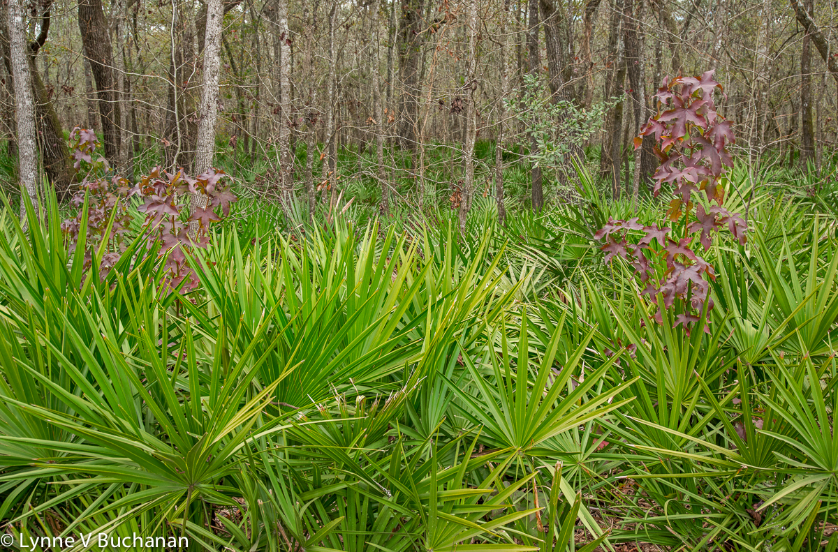 Palmettos and Maples Along the Trail