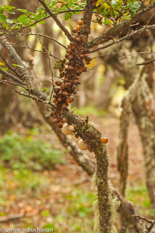 Darwin's Fungus, Tierra del Fuego