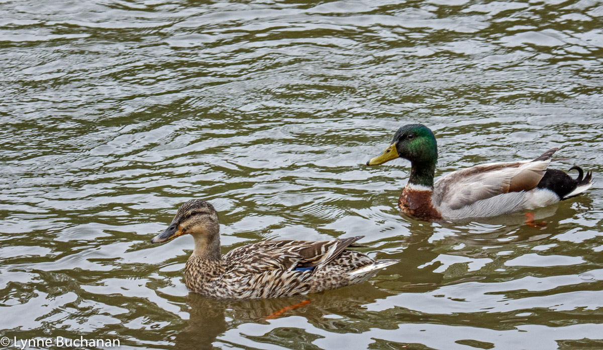 Mallard Couple out for a Morning Swim