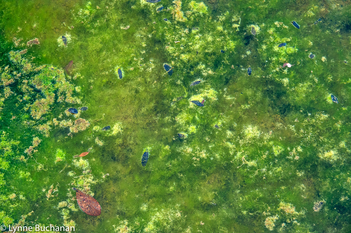 Algae Carpet, Salt Springs