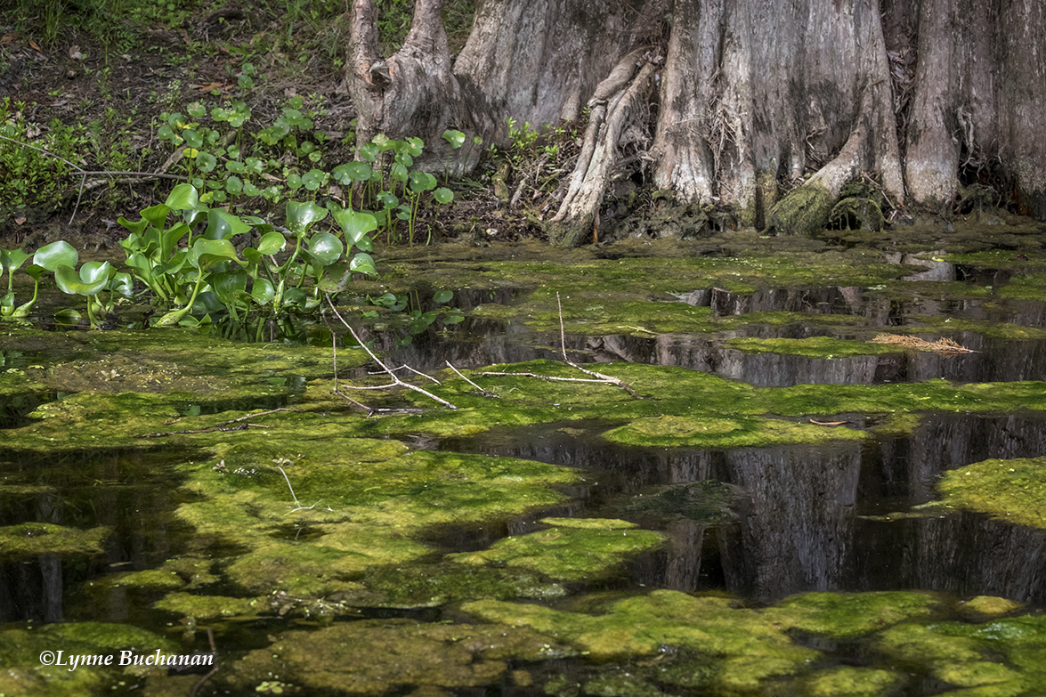Algae, Vegetation, and Cypress Knees, Santa Fe River