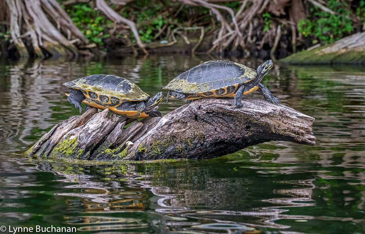 Pair of Turtles, Santa Fe River