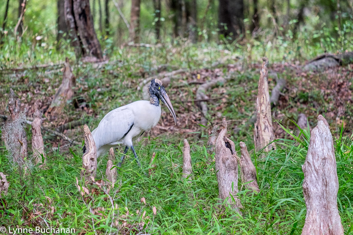 Wood Stork Among the Cypress Knees