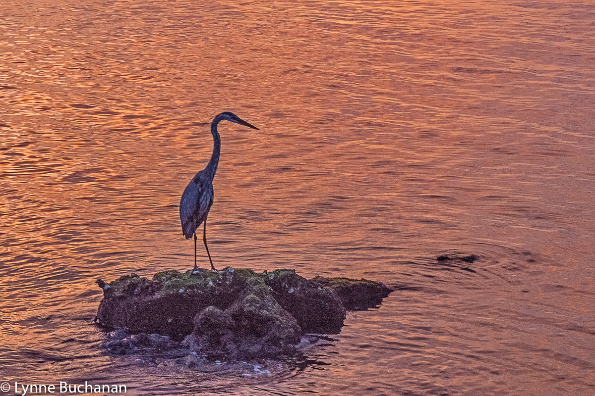 Heron in the Last Light