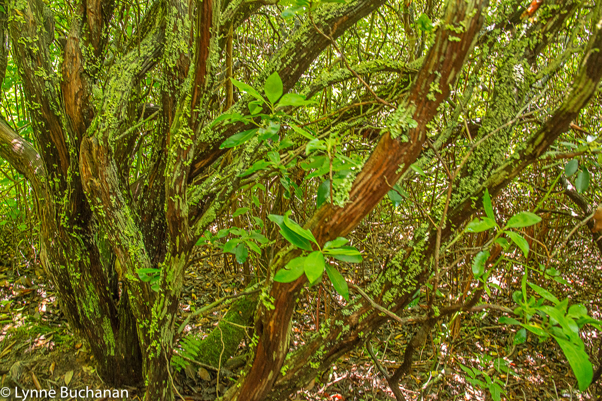 Trees with Green Lichen, Flat Laurel Creek Trail