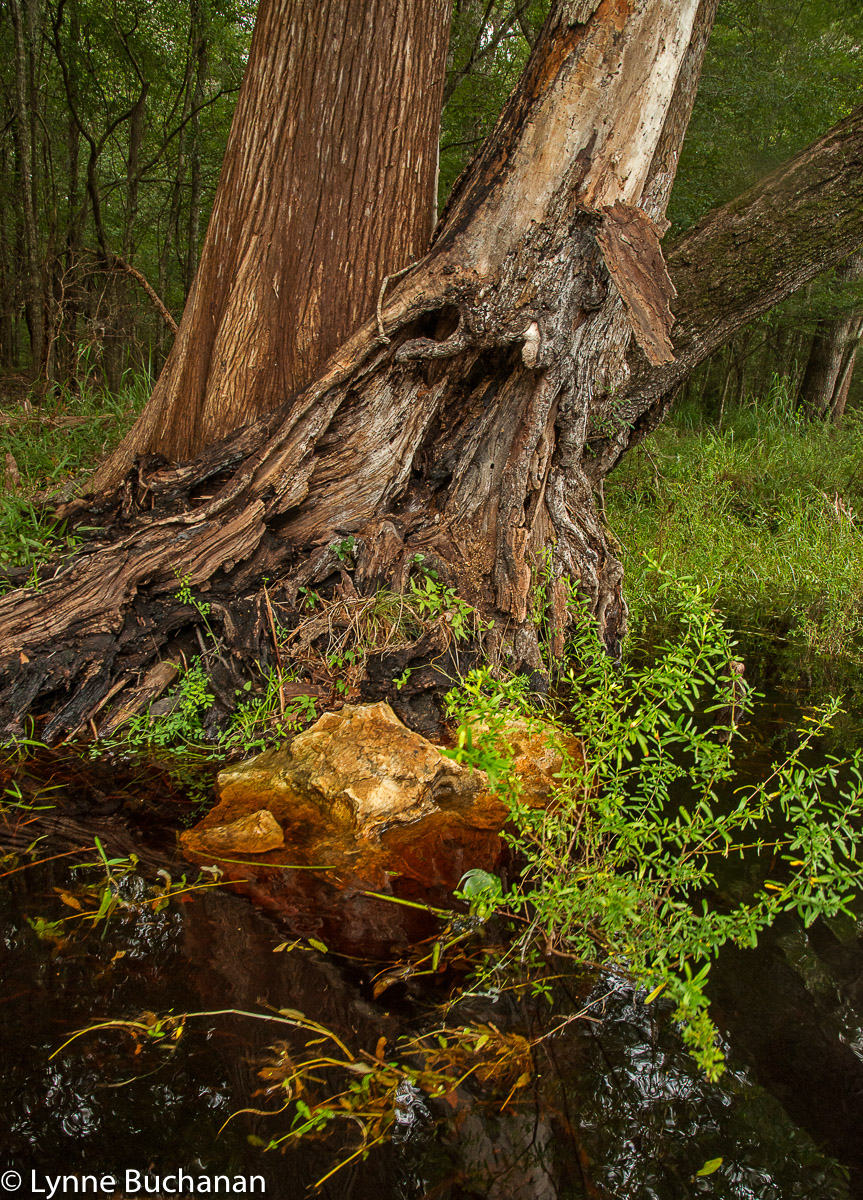 Burnt Tree and Vegetation, Santa Fe River